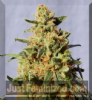 Kannabia White Domina Female 5 Marijuana Seeds